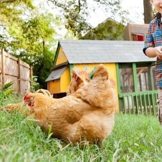 Backyard Chickens In Peoria